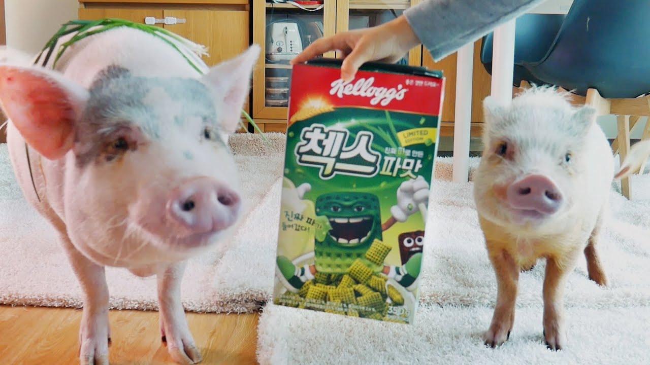 파를 편식하는 돼지들은 파맛 시리얼을 먹을까? 첵스 파맛