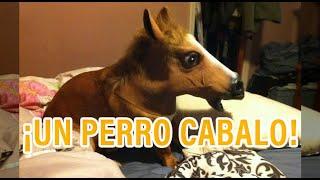 Animales se creen otra cosa menos lo que son - Un perro caballo