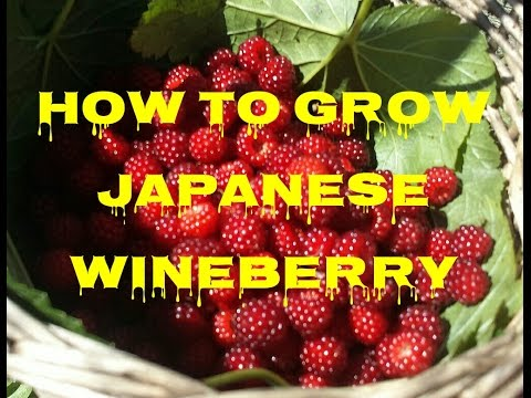 How To Grow Japanese Wineberry: The Movie