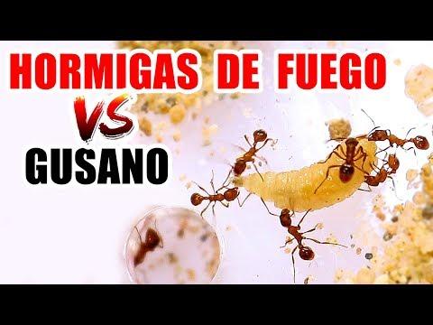 HORMIGAS DE FUEGO VS GUSANO DE MOSCA