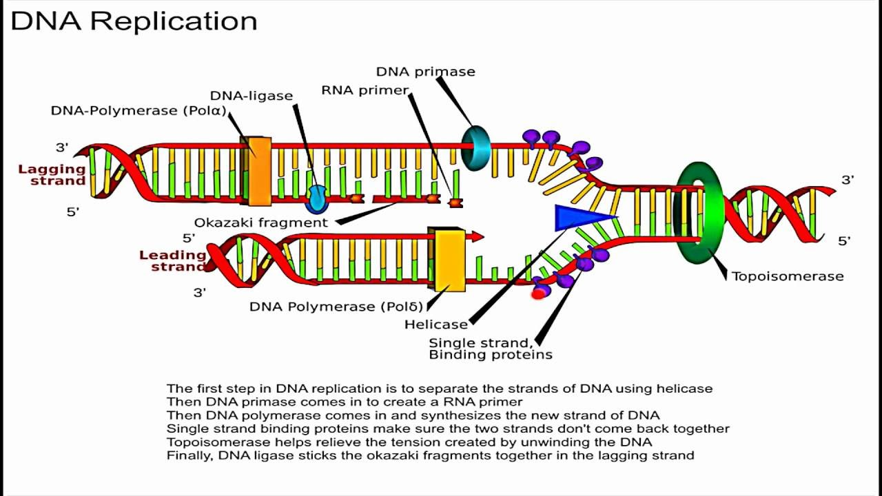 process of dna replication essay Sample biology essay it is the process in which the dna replication ceases at replication fork the two new dna double helix structures are created.