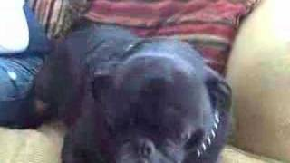 Fat Pug Snoring While Awake