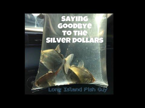 Rehoming Silver Dollar Fish