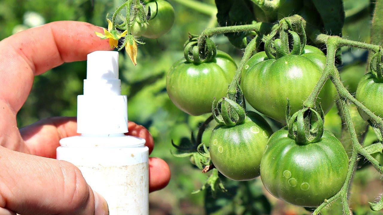 Фитофтора боится этого как огня! Всего несколько таблеток спасут ваш урожай от черной гибели!