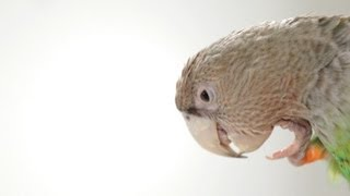 How to Train Parrot to Stop Screaming | Parrot Training