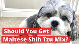 Should you get Maltese Shih Tzu Mix (Malshi) | Everything About Maltese Shih Tzu Mix