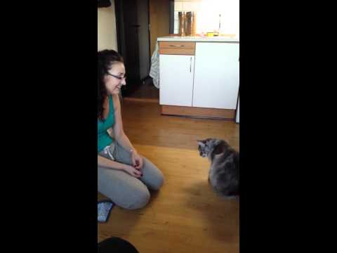 Clever Maine Coon does 7 tricks