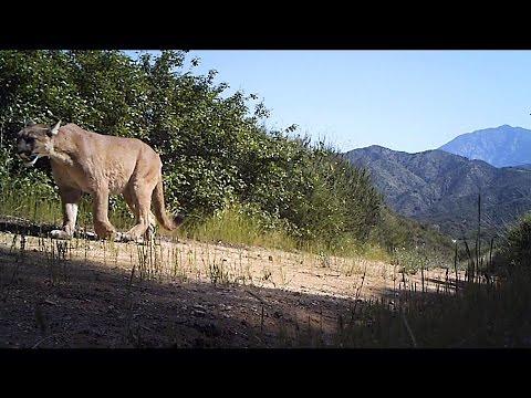 San Gabriel Mountains >> Mountain Lion San Gabriel Mountains 4/29/2012 - YouTube