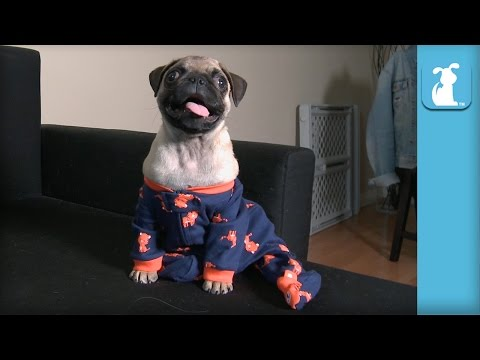 Puppy Enjoys Being a Pug Of Fashion