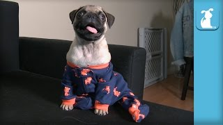 Funniest Pug Puppy Wears Onesie With Footies, Not Convinced
