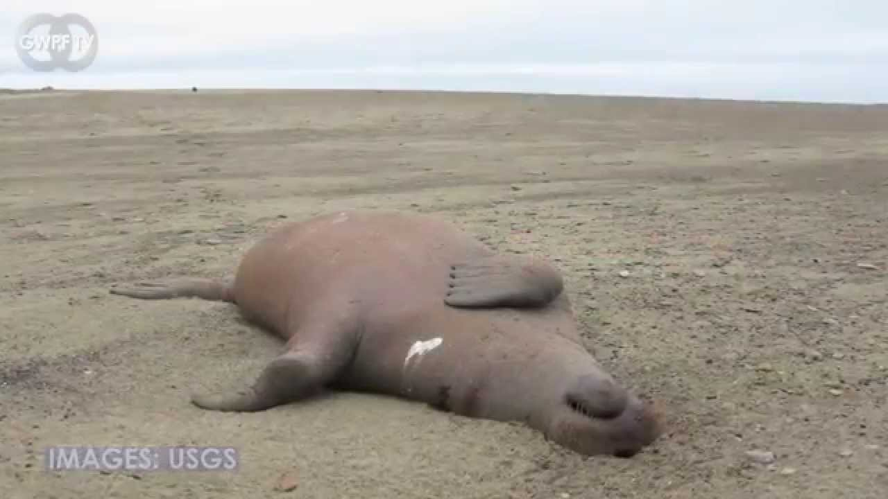 Attenborough's tragedy porn of walruses plunging to their deaths