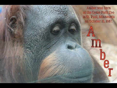 Orangutan Amber Wants To Wear Sunglasses
