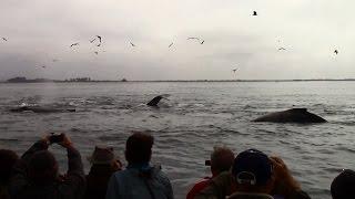 10.2.15 Humpback Whales & Common Dolphin #Monterey #Travel #Adventure