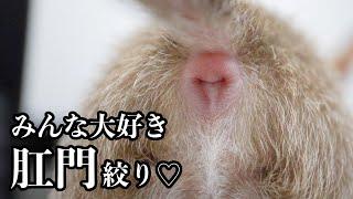 【閲覧注意】嫌いな肛門絞りで悲鳴をあげる子犬チワワ