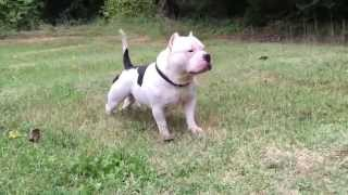 Extreme American Bully playing hard