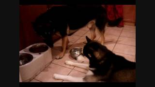 Siberian Husky Angry About Food!!