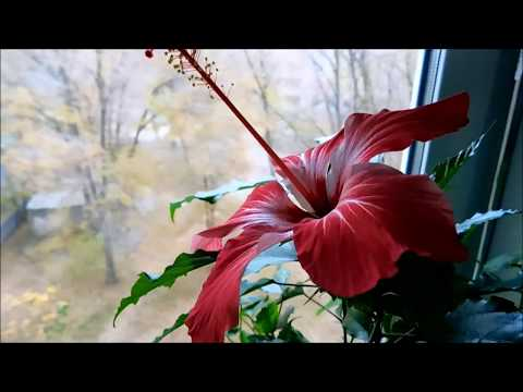 Комнатные цветы/ Мои гибискусы.