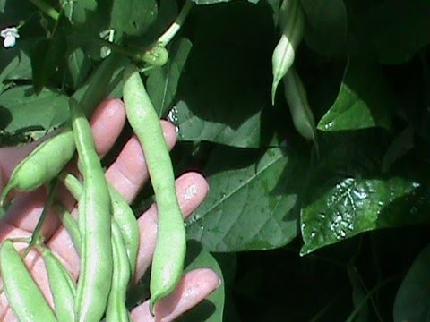 How To Cook Green Beans From The Garden Youtube