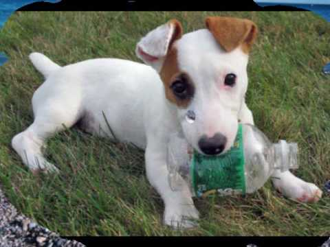Jack russell terrier the jack russell song youtube - Jack russel queue coupee ...