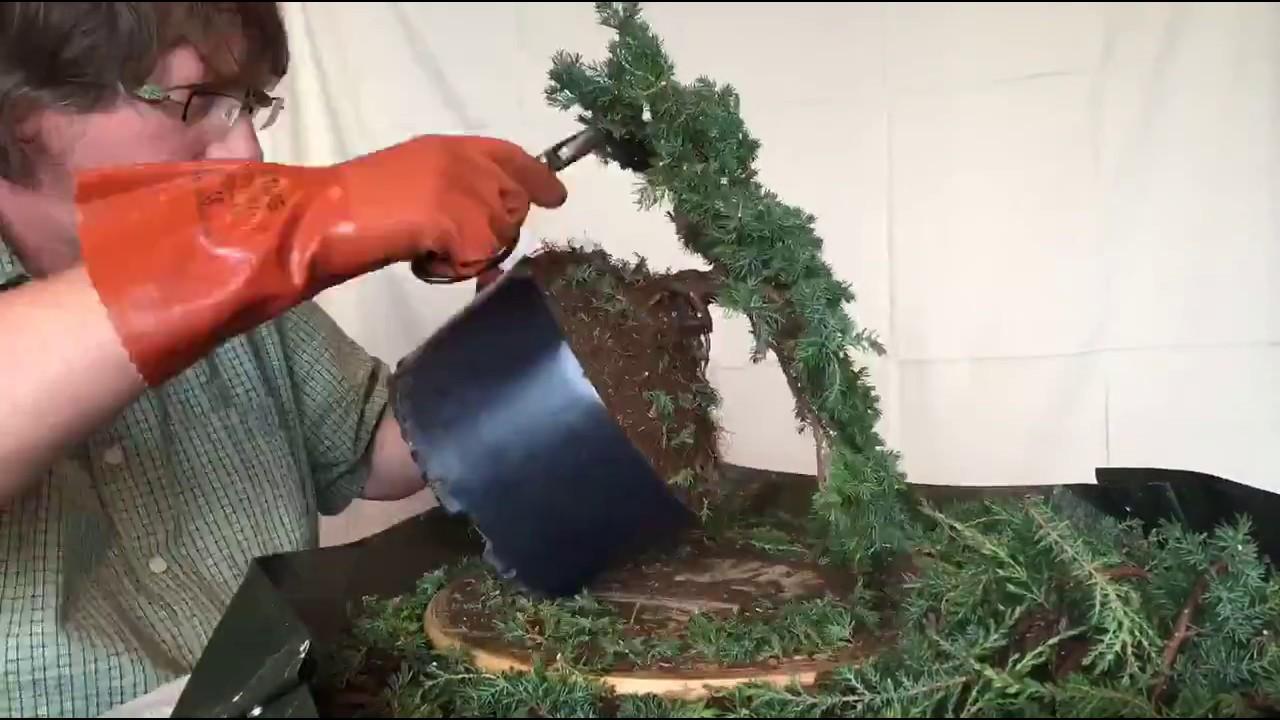 Green Carpet Juniper Bonsai - YouTube