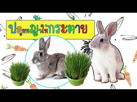 ปลูกหญ้ากระต่าย ปลูกง่ายโตเร็ว กระต่ายชอบ