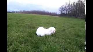 Millie The Maltese Puppy - Zoomies In The Park