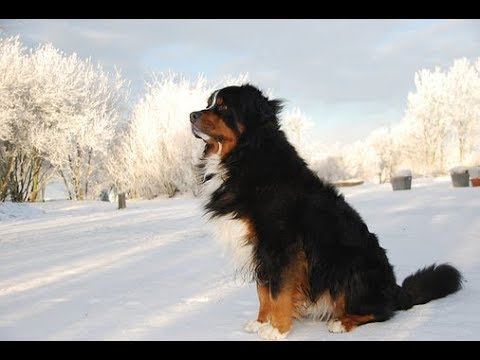 Easy Grooming a Bernese Mountain Dog