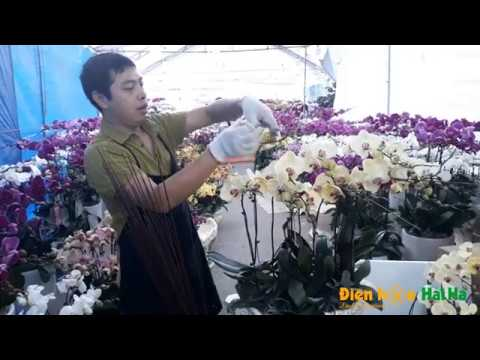 Hướng dẫn cách ghép chậu Hoa Hồ điệp về 1 phía – nghề cắm hoa hồ điệp tết