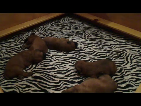 Soft Coated Wheaten Terrier Puppies Born 3/20/19