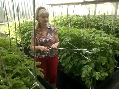 Огород ,опыляем томаты