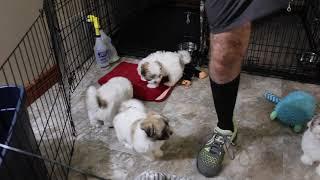 Coton Puppies For Sale - Kiwi 2/24/21