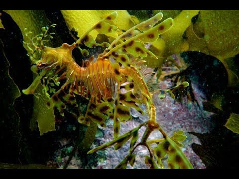 Leafy Sea Dragons and Dolphins at Victor Harbour, South Australia