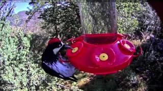 Acorn Woodpecker on the Feeder, October 30, 2015
