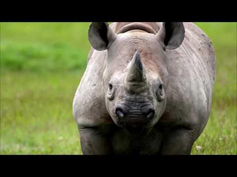 Rhino song