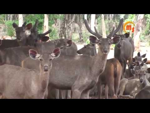 The Sambar Deer | Rusa unicolor