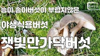 능이.송이버섯이 부럽지않은 야생식용버섯 잿빛만가닥버섯