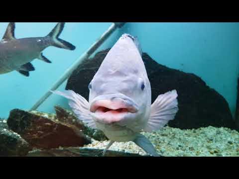 World's Oldest Silver Dollar Fish Update