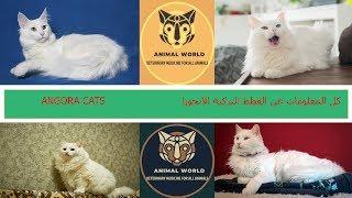 كل المعلومات عن القطط التركية الانجورا TURKISH ANGORA CATS
