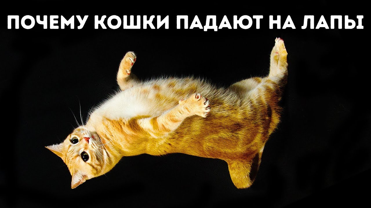 Именно поэтому кошки всегда приземляются на лапы