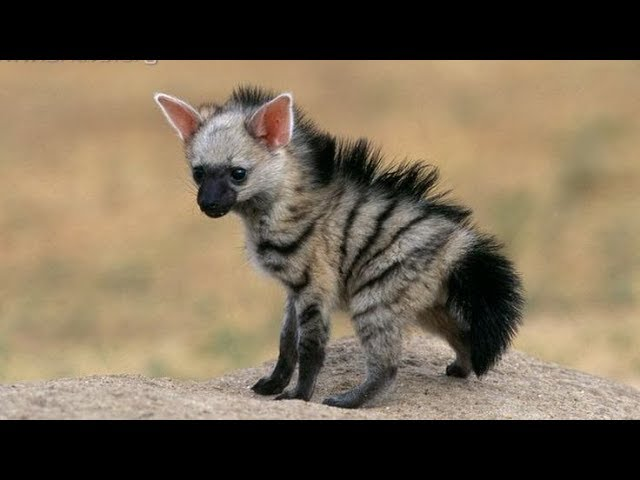 We Just Discovered The Aardwolf, The Cutest Little Creature In The World  And We're Totally In Love