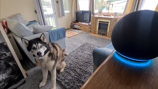 Husky and Alexa do not get on at all!