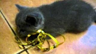 Британские котята - 1,5 месяца.avi