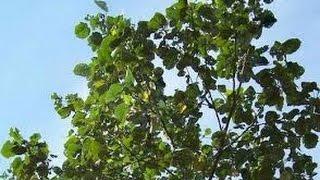 TERBUKTI!! Inilah Manfaat Dan Khasiat Pohon Waru