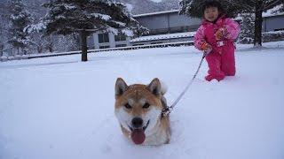 柴犬タロウと家族の日記。 雪の積もった公園をラッセル!!