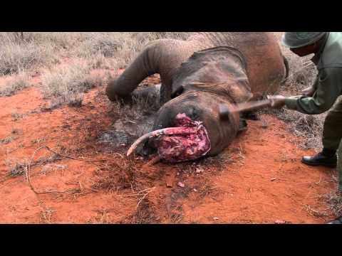 There is no Glamour in Ivory - Illegal Ivory Trade - Documentary - Indiegogo fund-raising appeal