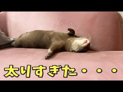 自粛期間で太りすぎてお風呂に入れなくなったカワウソ【しゃもじ君】
