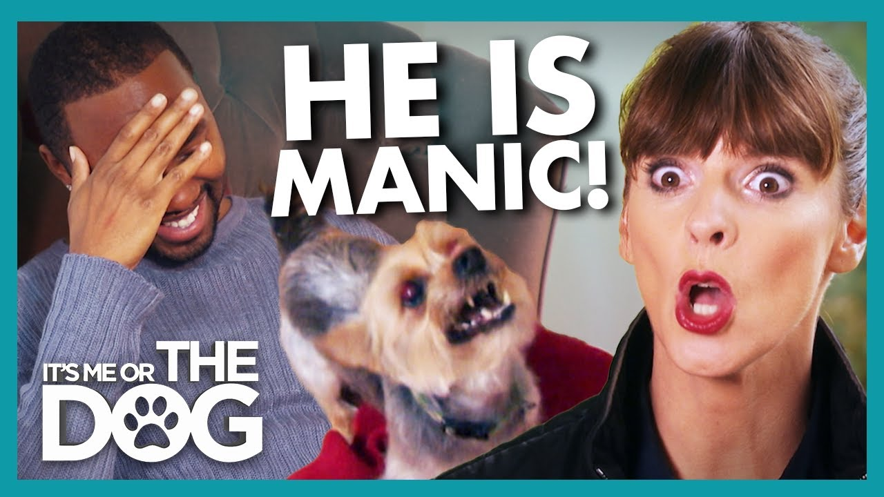 'Manic' Yorkie With Bite History Risking Being Put Down Every Day |  It's Me or The Dog