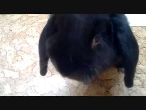 Крольчата породы рекс. Кролик карликовый баран. Кролиководство .