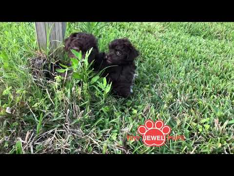 PuppyFinder.com : Kuba the Chocolate Havanese