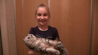 Наша дрессированная  шотландская вислоухая кошка Шейла.
